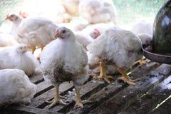 цыплятина фермы цыпленка Стоковая Фотография RF