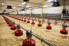 цыплятина фермы Стоковые Изображения RF