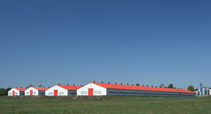 цыплятина фермы Стоковая Фотография