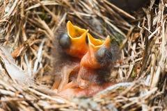 2 цыпленока в гнезде Стоковые Фото