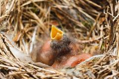 2 цыпленока в гнезде Стоковые Фотографии RF