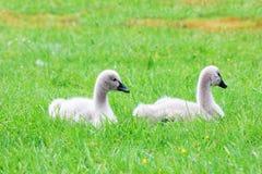 2 цыпленока черных лебедя кладя в траву Стоковые Изображения RF