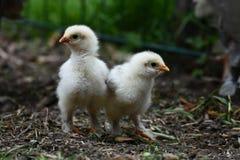 2 цыпленока brahma стоковое изображение