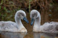 Цыпленоки безгласного лебедя Стоковые Изображения