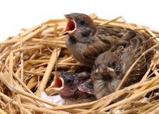 Цыпленоки воробья ждать быть поданным Стоковое Изображение