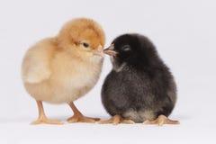 Цыпленоки во время переговора Стоковое Фото