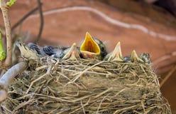Цыпленоки в гнезде Стоковое Фото