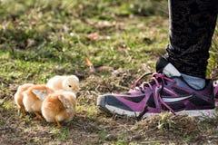 Цыпленоки в ферме с ботинком девушки Стоковое Фото