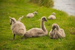 Цыпленоки лебедя Стоковое фото RF