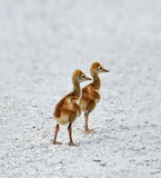 Цыпленоки крана Sandhill Стоковые Изображения RF