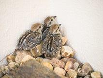 Цыпленоки куропатки младенца красно-шагающие Стоковое Изображение