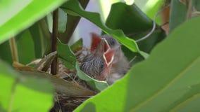 Цыпленоки младенца в гнезде птицы сток-видео