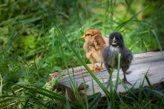 Цыпленоки младенца стоя в траве Стоковые Изображения RF