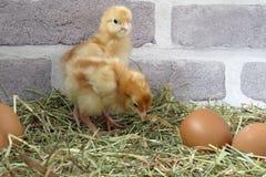 цыпленоки 2 младенца Стоковые Изображения RF