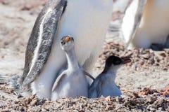 Цыпленоки пингвина Gentoo в солнце Стоковое фото RF