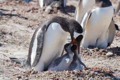 Цыпленоки пингвина Gentoo подавая Стоковые Изображения