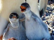 Цыпленоки пингвина Gentoo Стоковая Фотография RF