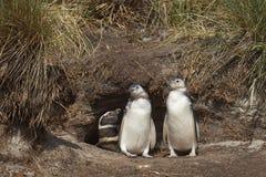 Цыпленоки пингвина Magellanic - Фолклендские острова Стоковая Фотография RF