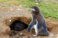 Цыпленоки пингвина Magellanic Стоковая Фотография