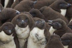 Цыпленоки пингвина Rockhopper - Фолклендские острова Стоковое Изображение