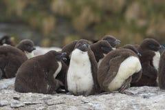 Цыпленоки пингвина Rockhopper - Фолклендские острова Стоковые Изображения RF