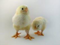 Цыпленоки породы француза вызвали Семгу Faverolles Стоковое Изображение RF