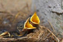 Цыпленоки птицы в гнезде в горе Стоковое фото RF