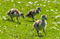 Цыпленоки птицы идя в солнце Стоковое Изображение RF