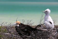 Цыпленоки птицы фрегата стоковые изображения