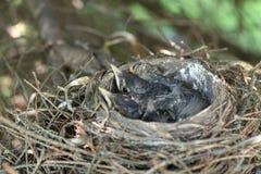 Цыпленоки Робина американца в гнезде Стоковые Фотографии RF