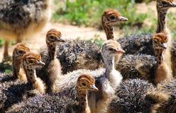 Цыпленоки страуса в Южной Африке Стоковые Изображения RF