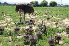 Цыпленоки страуса с их матерью Стоковое фото RF