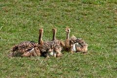 Цыпленоки страуса Стоковая Фотография