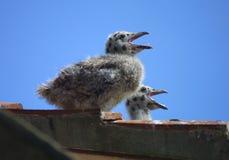 Цыпленоки чайки на крыше Стоковые Фотографии RF