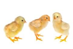 цыпленоки 3 Стоковая Фотография