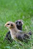 цыпленоки 2 стоковые фото