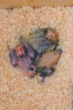 Цыпленоки Cockatiel Стоковое Фото