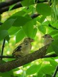 Цыпленоки Goldfinch ждать родителей Стоковое Изображение