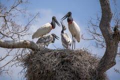 Цыпленоки Jabiru умоляя для еды от взрослых в гнезде Стоковые Изображения