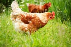 Цыпленок Брайна в траве Стоковое Фото