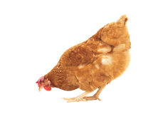 Цыпленок Брайна подавая изолированная белая предпосылка Стоковые Фото