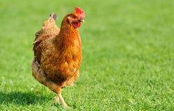 Цыпленок Брайна стоковое изображение