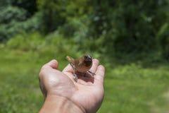 Цыпленок воробья дома птенеца молодой птицы Стоковое фото RF