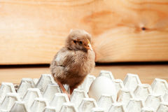 Цыпленок в бумажном подносе для яичек Стоковая Фотография RF