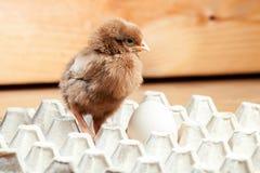 Цыпленок в бумажном подносе для яичек Стоковое фото RF
