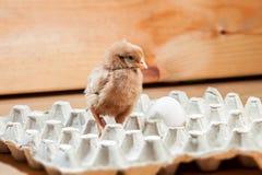 Цыпленок в бумажном подносе для яичек Стоковые Изображения RF