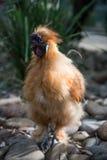 Цыпленок в зоопарке. стоковое изображение rf