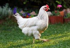 Цыпленок в ферме природы внешней стоковые изображения rf