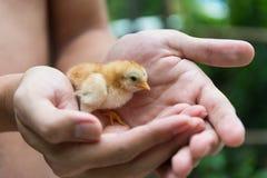 Цыпленок в человеческих ладонях Стоковое Изображение RF