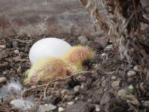 Цыпленок голубя в гнезде с его яичком брата Стоковые Фотографии RF